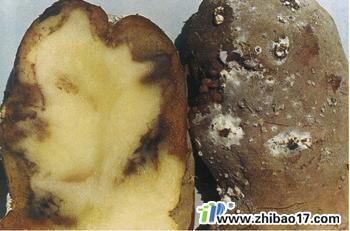 马铃薯白绢病图片