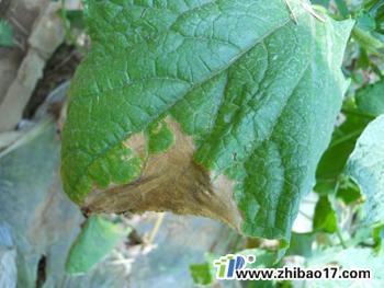 黄瓜蔓枯病图片