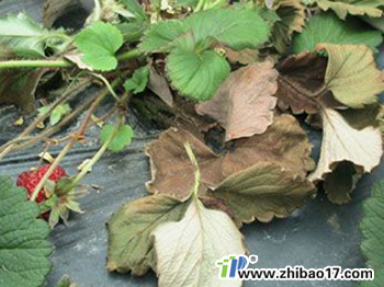草莓黄萎病图片