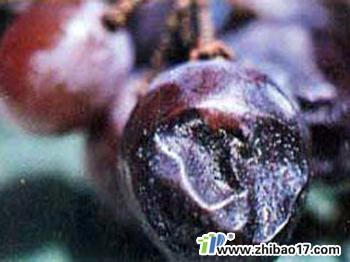 葡萄黑腐病图片