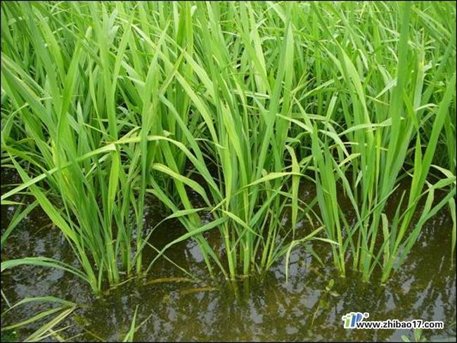 水稻稻纵卷叶螟图片