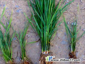 水稻黑条矮缩病图片