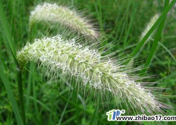 禾本科杂草――狼尾草图片